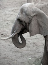 Elefant-224x300