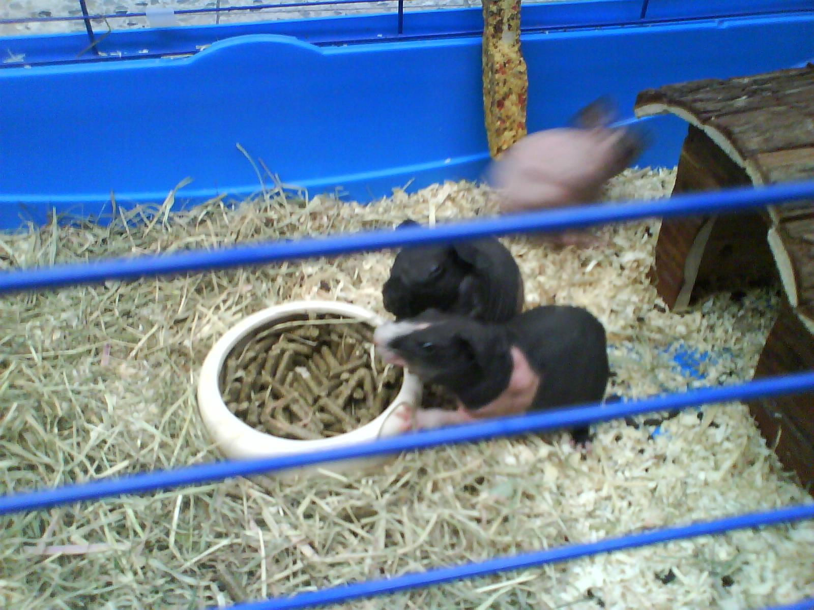 Skinny Nacktmeerschweinchen beim Fressen