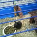Skinny - Nackmeerschweinchen