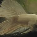Unser weißer Kampffisch Erich