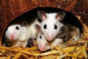 Mäuse für Tierversuche - Pixabay